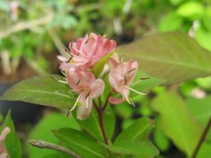 Lonicera caucasica ( chèvrefeuille du Caucase ) arbuste pour haie , massifs ou isolé
