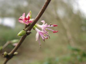 lonicera praeflorens arbuste à floraison hivernale pour massif , haie