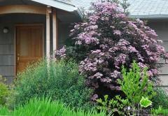 sambucus nigra Black Tower, arbuste