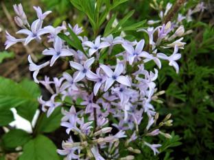 syringa laciniata  ( lilas à feuillage décoratif , en isolé , massifs ou haie )