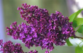 syringa Souvenir de Louis Spaeth ( lilas , fleurs très foncées , parfumé , isolé , massif , haie )