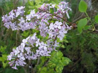 syringa oblata ( lilas précoce , feuillage décoratif , pour haie , massifs ou en isolé )