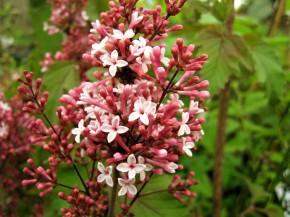 syringa microphylla superba ( lilas , floraison remontantes , petit feuillage , isolé , haie , potées fleuries )