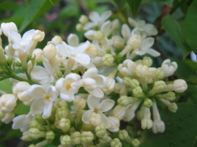 syringa Primrose ( lilas , fleurs crême , parfumé , isolé , haie , massifs )