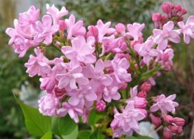 syringa Zhemchuzhina ( lilas , fleurs doubles , parfumé , isolé , haie , massifs )