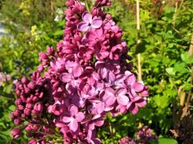 syringa vulgaris znamya lenina ( lilas , fleurs framboise , parfumé , isolé , haie , massifs )