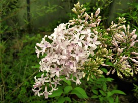 syringa x chinensis metensis ( lilas , petit feuillage , parfumé , isolé , haie , massifs )