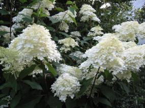 hydrangea paniculata Phamtom