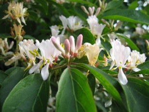 lonicera maackii arbuste à isoler , spécimen